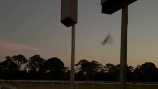Bats leaving their bat houses