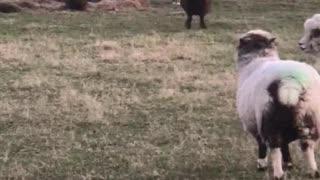 Bouncy Sheep at Play