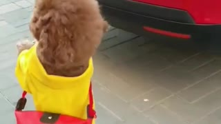 Small Dog Walking like a lady