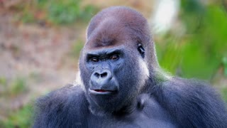 Gorilla, smart animal, so beautiful
