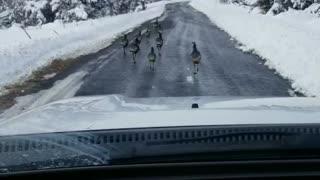 Flock of Wild Turkey
