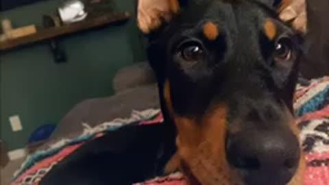 Doberman puppy speaks