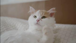 White Cute Cat    Doing Something interesting
