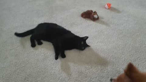 Cute Pomeranian and Cat Love To Play Together