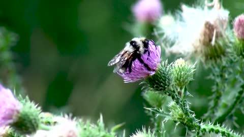 Bee Feeding On Flower