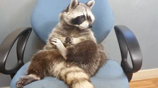 Raccoon playing with grass with small hands