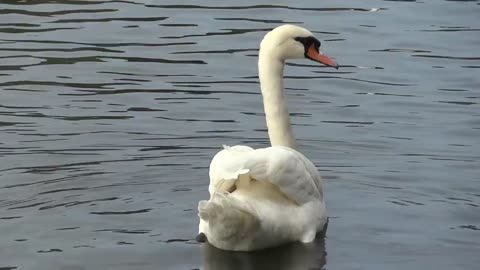 White swan looking for food