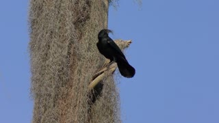 American Crow collecting some moss for nesting