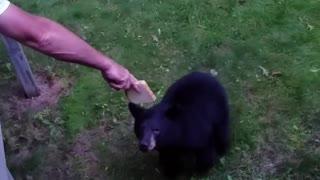 Hand Feeding a Bear Some Bread