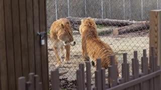 TIGER VS LION EPIC BATTLE