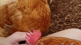 Fly Photobombs a Chicken Eating Ice Cream