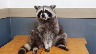 Raccoon eats gum with his small hands.