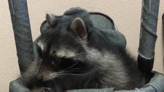 Pet Raccoon Enjoys Baby Swing