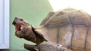 Huge Tortoise Bigger Yawn