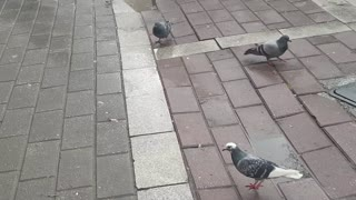 Birds in the street drink water