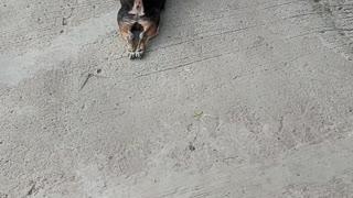 Chihuahua Keeps Kids Happy During Quarantine