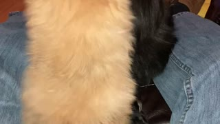 Pomeranian puppy playing with mom