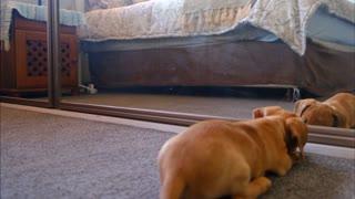 funny video puppy looking in the mirror (video chistoso cachorro mirandose al espejo)