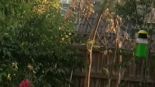 Helpful Cockatoo Cleans Out Gutters