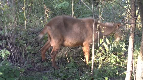 Adorable Male Goat Got Stunned In Forest