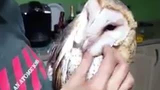 Barn owl enjoys thorough head scratch