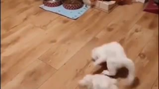 Funny Cat and dog fighting