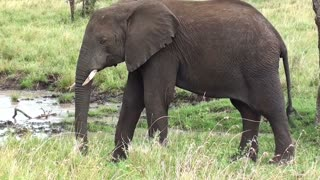 Information about the elephant