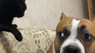 Cat Shows Authority Over Large Dog