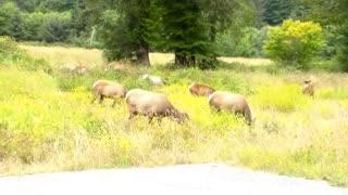 Wildlife Elk Herd Pacific Northwest