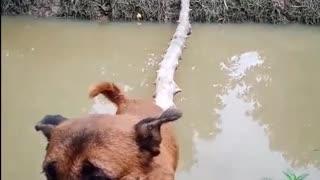Canine Crosses Bridge with Perfect Balance