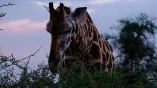 Beautiful so tall giraffe eating from the top of the trees