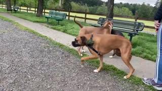 German Shephard attacks pitbull