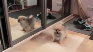 Cute Puppies Dog crash with Mirror