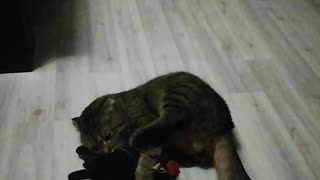 Cat has fun with his favorite toy.