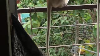 Monkey Makes Off with Food from Fridge