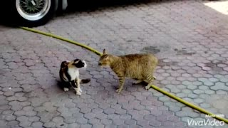 TWO CATS FIGHTING BATTLE OF CATS