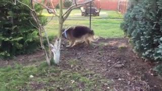 German Shepherd Dog Gone Crazy