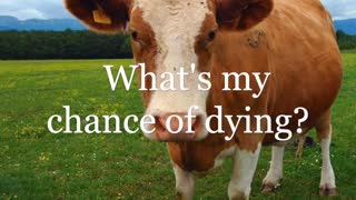 Covid the Cow: What is your chance of dying?