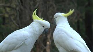 Grandes pássaros brancos se acariciando
