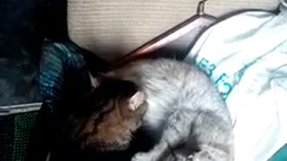 Very lovely cats can't live without each other