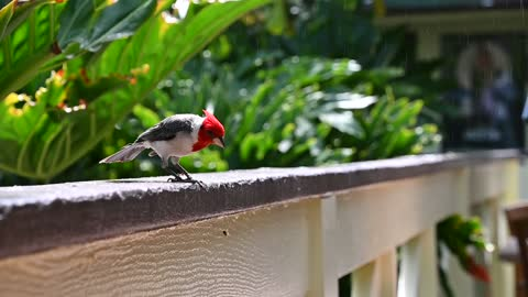 Red Crested Cardinal at Wamea Falls