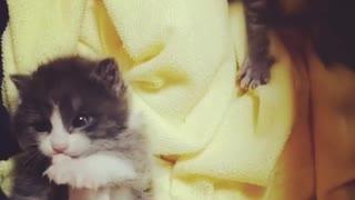 Small Kitten Licking herself