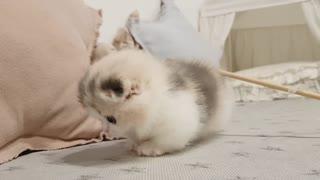 Little kittie, short leg cute kitty lovely performance