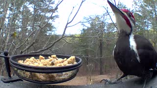 Close up of huge Pileated Woodpecker