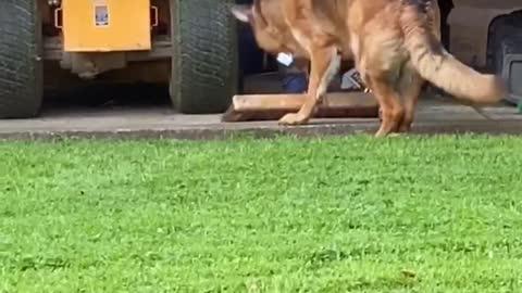 German Shepherd steals broom