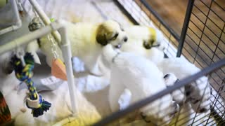 Great Pyrenees Pups Day 24