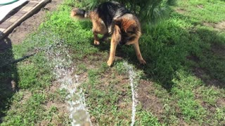 a dog plays with water