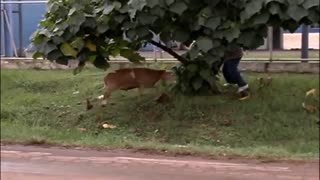 Crazy Goat attack people