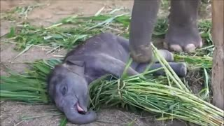 Scared Baby Elaphant! TRY NOT TO LAUGH!