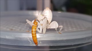 Orchid Mantis Eating it's Prey!